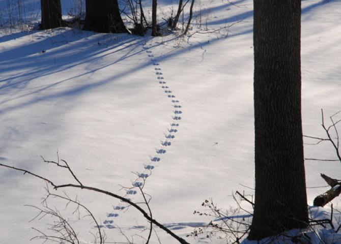 2-11-10 Who's footprints in the snow?