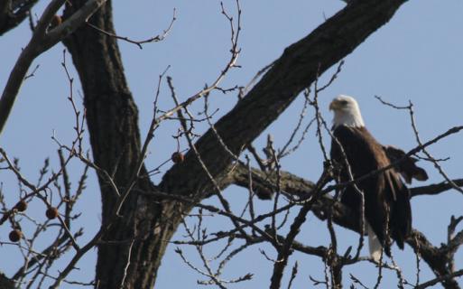 Bluffton's own Bald Eagle