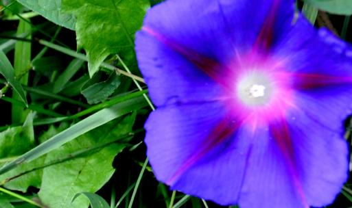 An afternoon blooming Morning Glory
